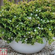 Abelia x grandiflora 'Kaleidoscope' - 1 x 3.6 litre potted abelia plant