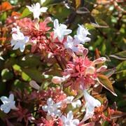 Abelia x grandiflora - 1 x 3.5 litre potted abelia plant
