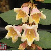Abelia x grandiflora 'Sunny Charms' - 2 x 8cm potted abelia plants