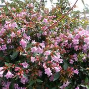 Abelia 'Edward Goucher' (Large Plant) - 1 x 3.6 litre potted abelia plant