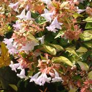 Abelia x grandiflora 'Francis Mason' - 1 x 3.6 litre potted abelia plant