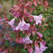 Abelia 'Pink Pong' - 2 x 8cm potted abelia plants