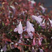 Abelia 'Pinky Bells' (Large Plant) - 1 x 3.6 litre potted abelia plant