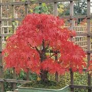 Acer palmatum - 1 packet (30 acer seeds)