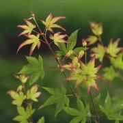 Acer palmatum 'Orange Dream' - 1 x 10.5cm potted acer plant