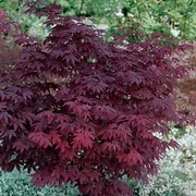 Acer palmatum 'Atropurpureum' - 1 x 10.5cm potted acer plant