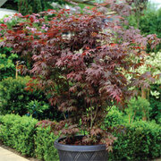 Acer palmatum (Large Plant) - 1 x 3.5 litre potted acer plant