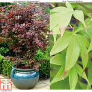Acer palmatum Duo - 2 x 7cm potted acer plants - 1 of each variety
