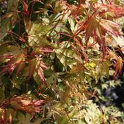 Acer palmatum 'Katsura' (Large Plant) - 1 x 18 litre potted acer plant