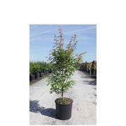 Acer palmatum 'Sango-kaku' (Large Plant) - 1 x 12 litre potted acer plant
