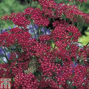Achillea millefolium 'Cassis' - 1 packet (70 achillea seeds)
