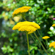 Achillea filipendulina 'Cloth of Gold' - 1 packet (500 achillea seeds)
