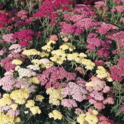 Achillea millefolium 'Summer Pastels' (Large Plant) - 1 x 1 litre potted achillea plant