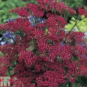 Achillea 'Cassis' (Garden Ready) - 15 achillea garden ready plants