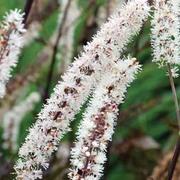 Actaea simplex 'Black Negligee' (Atropurpurea Group) - 1 x actaea jumbo plug plant