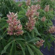 Aesculus x mutabilis 'Induta' (Large Plant) - 1 x 10 litre potted aesculus plant