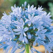 Agapanthus 'Headbourne Hybrids' - 1 packet (22 agapanthus seeds)