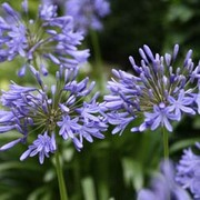 Agapanthus 'Lavender Haze' (Large Plant) - 1 x 2 litre potted agapanthus plant