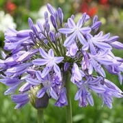 Agapanthus 'Regal Beauty' (Large Plant) - 1 x 3 litre potted agapanthus plant
