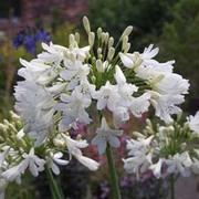 Agapanthus 'Arctic Star' (Large Plant) - 1 x 3 litre potted agapanthus plant