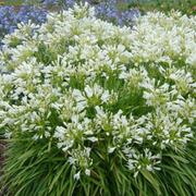 Agapanthus 'Snowstorm' (Large Plant) - 1 x 10 litre potted agapanthus plant