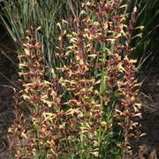 Agastache 'Summer Glow' (Large Plant) - 1 x 1 litre potted agastache plant