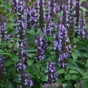 Agastache hybrida 'Astello Indigo' - 1 packet (15 agastache seeds)