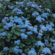 Ageratum houstonianum 'Blue Mink' - 1 packet (1500 ageratum seeds)