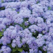 Ageratum houstonianum 'Blue Danube' F1 Hybrid - 1 packet (100 ageratum seeds)