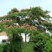 Albizia julibrissin 'Ombrella' (Large Plant) - 1 x 7.5 litre potted albizia plant
