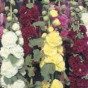 Hollyhock 'Powder Puffs Mixed' - 1 packet (60 seeds)