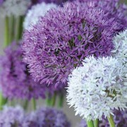 Allium 'Big Impact Mixed' - 16 allium bulbs