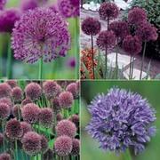 Allium Collection - 100 allium bulb mix