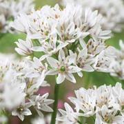Allium ramosum - 3 allium bulbs