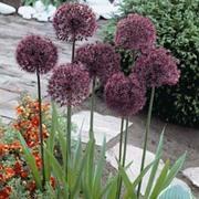 Allium 'Gladiator' (Large Plant) - 1 x 2 litre potted allium plant