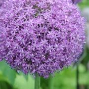 Allium 'Globemaster' - 1 allium bulb