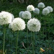 Allium stipitatum 'Mount Everest' (Large Plant) - 1 x 3 litre potted allium plant
