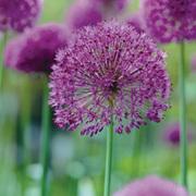 Allium 'Purple Sensation' - 48 allium bulbs