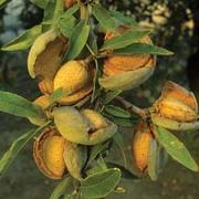 Almond 'Robijn' - 1 root wrap almond tree