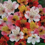 Alstroemeria 'Planet Mixed' - 5 bare root alstroemeria plants