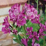 Alstroemeria 'Butterfly Hybrids' - 3 alstroemeria Postiplug plants