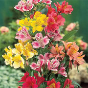 Alstroemeria 'Garden Hybrids' - 6 bare root alstroemeria plants