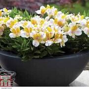 Alstroemeria 'Inca Smile' - 1 x 7cm alstroemeria potted plant