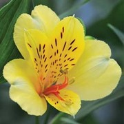 Alstroemeria 'Everest Canary Yellow' - 3 alstroemeria jumbo plug plants
