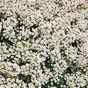 Alyssum 'Carpet Of Snow' - 1 packet (1000 alyssum seeds)