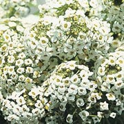 Alyssum 'Sweet White' - 1 packet (1000 alyssum seeds)