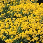 Alyssum 'Golden Queen' - 1 packet (250 seeds)