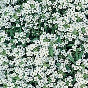 Alyssum 'Avalanche' - 1 packet (300 seeds)