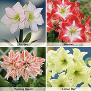Amaryllis Collection - 4 amaryllis bulbs - 1 of each variety