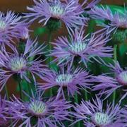 Amberboa muricata - 1 packet (100 amberboa seeds)